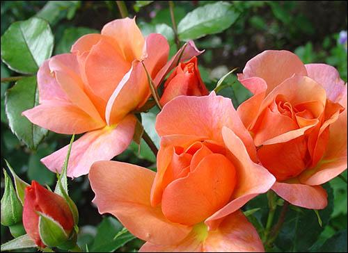 poliantovaia-rosa