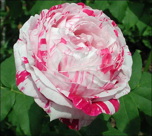 rosa-burbonov